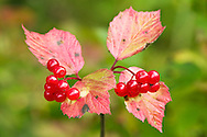 Closeup of fruit of High-Bush Cranberry (Viburnum edule) in late summer in Chugach State Park near Eagle River in Southcentral Alaska. Afternoon.