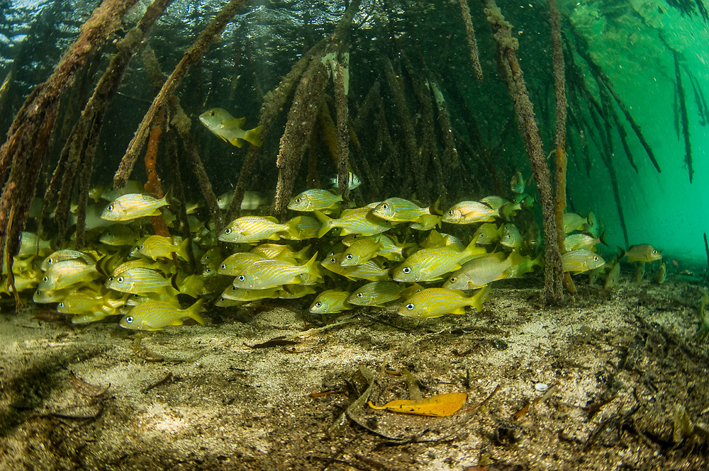 Roots of red mangroves (Rhizophora mangle) serve to prevent erosion, protect juvenile marine fish, such as these French Grunts (Haemulon flavolineatum) and safeguard the coastline from storms and wave action. They are one of the few plants to live in saltwater. These were photographed in Southwest Caye, Belize, Central America, Caribbean Sea