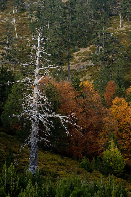 Greece, Pindos Mountains, Pindos NP, Valia Calda, Dry Balkan Pine tree in mixed forest