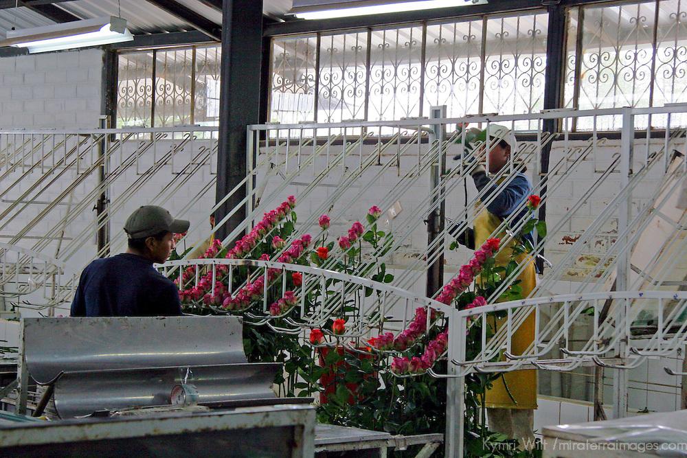 South America, Ecuador, Tabacundo. Galapagos Flores Farm, growing roses for export all over the world.