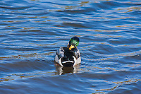 Mallard Duck (Anas platyrhynchos)  male preening in a lake.  Male:  Iridescent green head; yellow bill; chestnut breast.