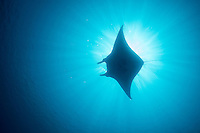 Manta backlit by the sun<br /> <br /> Shot in Indonesia
