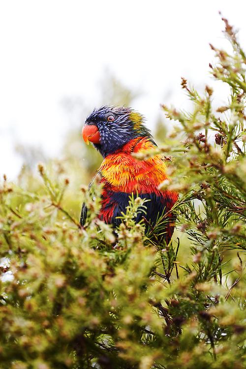 Rainbow Lorikeet perched in a Wattle tree after a rain shower