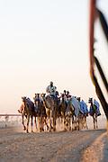 Racing camels in Dubai, UAE