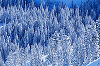 Pine trees in snow elevated view