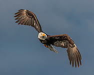 Bald Eagle in flight, banking into a turn, stormy sky background, © 2005 David A. Ponton
