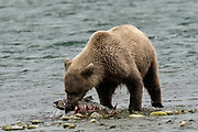 A Brown bear sub-adult catches chum salmon at the McNeil River State Game Sanctuary on the Kenai Peninsula, Alaska. The remote site is accessed only with a special permit and is the world's largest seasonal population of brown bears in their natural environment.