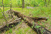 Mature tree trunks in Seine River Forest.<br /> Winnipeg<br /> Manitoba<br /> Canada