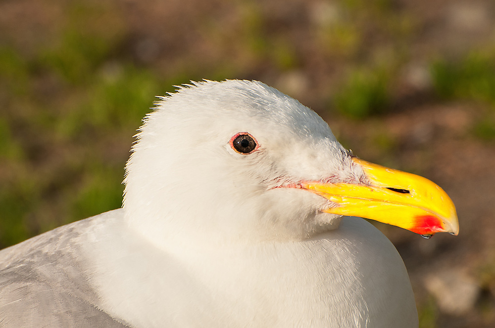 Close-up of a very curious glaucous-winged gull photographed above Ruby Beach on Washington's Pacific Coast, just south from Forks.
