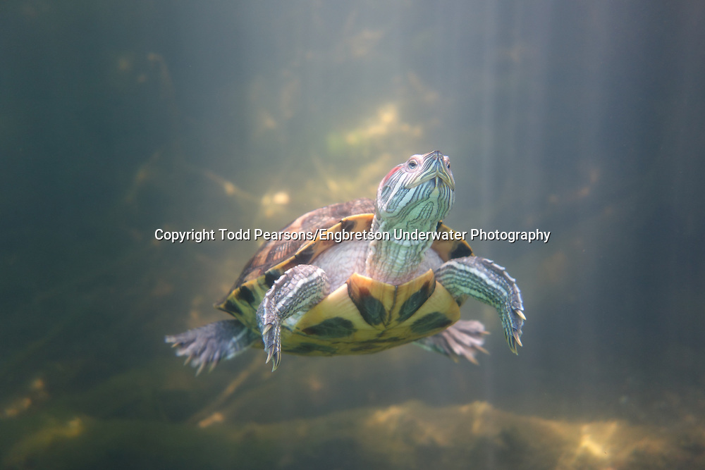 Red-Eared Slider Turtle<br /> <br /> Todd Pearsons/Engbretson Underwater Photography