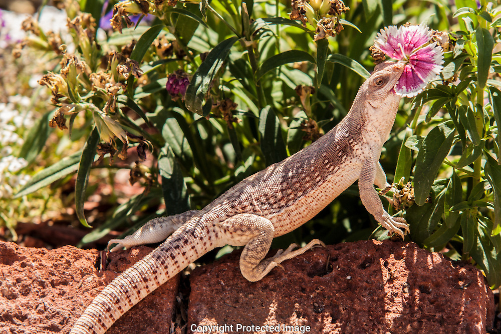 Desert Iguana eating garden flowers.