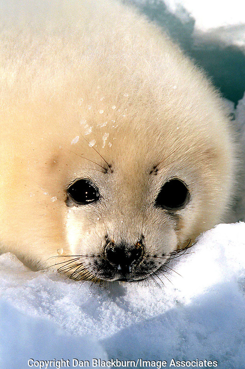 Endangered Baby Harp Seal on the Magdalene Islands, Canada