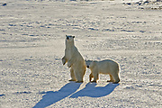 Polar bear  (Ursus maritimus) on frozen tundra along the Hudson Bay Coast<br />