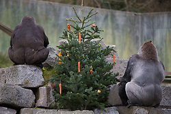 @Licensed to London News Pictures 15/12/2017.Port Lympne, Hythe, Kent. Western lowland gorillas enjoying their Christmas enrichment programme today at Port Lympne Animal Reserve in Kent with fruit and vegetable Xmas baubles arranged on Xmas trees. Port Lympne Animal Reserve and its sister park Howletts Wild Animal Park are home to the largest breeding group of western lowland gorillas in the world with more than 100 births.   Photo credit: Manu Palomeque/LNP