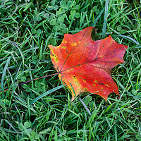 A bright red and yellow maple leaf on green grass