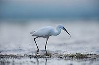 Little egret (Egretta garzetta) on the lake Belau in Moldova