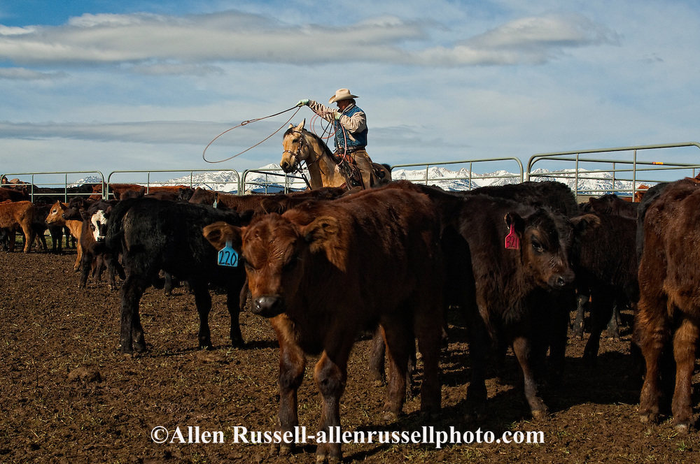 Cowboy Randy Jackson ropes and drags calves to the fire to be branded, Wilsall, Montana, Bridger Mountains,<br /> MODEL RELEASED, PROPERTY RELEASED