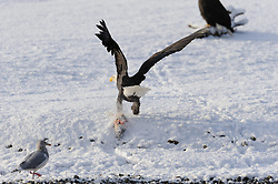 This photo is part of a sequence in which a bald eagle drags a salmon from the Chilkat River only to eat it in front of the eagle that it dragged it up to. In this image (second of the twelve image sequence) a second eagle has begun to drag a salmon from the river towards the other eagle. The photo was taken in the Alaska Chilkat Bald Eagle Preserve near Haines, Alaska.