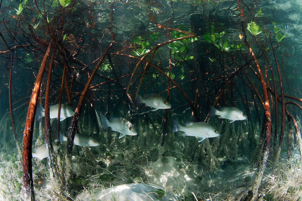 Mangroves are habitat for commercially important species such as these snapper. Lemon sharks depend on mangroves for the survival of the first 5-8 years of their lives. Mangroves are disappearing throughout the world and the fate of the lemon shark is left in the balance. We need to get proper protections for the world's mangroves and then enforce them.