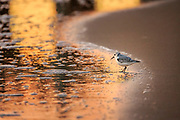 Sandpiper with the colorful sunrise reflected in the surf at Avalon Fishing Pier in Kill Devil Hills on the Outer Banks of NC.