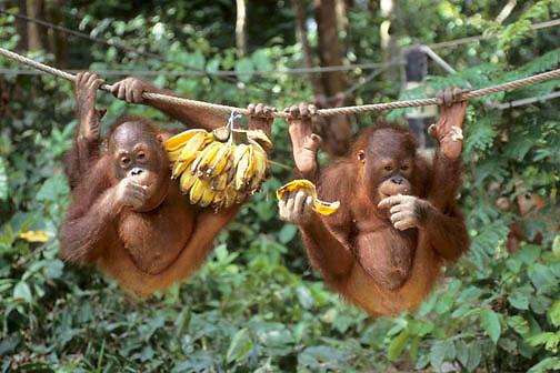 Orangutan, (Pongo pygmaeus) Juveniles in nursery of Sepilok Forest Rehabilitation Center. Borneo. Malaysia. Controlled Conditons.
