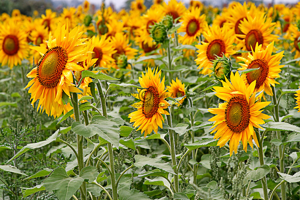 Sunflowers turn their heads towards the sun on a farm in Prince Edward County, Ontario, Canada
