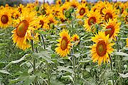 Sunflowers turn their heads towards the sun on a farm in Prince Edward County, Ontario, Canada