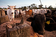 Young cattle rest in a paddock before being let out to pasture in the Bolivian Amazon.