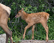 Elk calf just behind its mother, licking its nose.  Seeds are visible in the calf's fur, probably from the invasive houndstongue, Cynoglossum officinale, adapted to spreading by clinging to mammal fur. Greater Yellowstone Ecosystem, © 2019 David A. Ponton