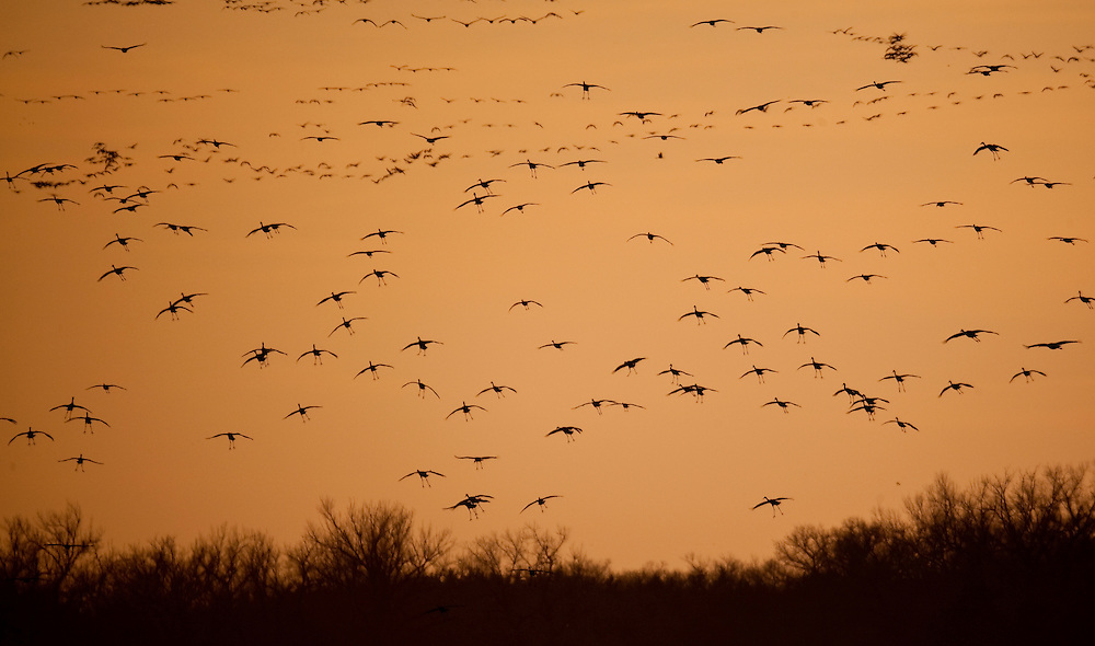 Sandhill Cranes, 500,000 strong, fly into the Platte River in Nebraska during their annual spring migration.  Cranes are the oldest living birds on the planet dating back 10,000 years.  The Platte River Valley is the most important stopover on the migration.  The river provides a perfect spot to rest and food is abundant in the nearby fields.  The energy gained along the Platte River allow the cranes to finish their migration as far north as Alaska.  Photo by Tom Lynn