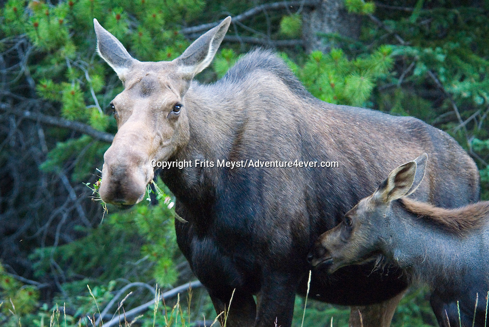 Kananaskis Country, Alberta, Canada, August 2008. a moose and her calf graze along the forest edge at dawn. The Kananaskis is a tranquil and green part of the Rocky Mountains. Away from the masses it offers many outdoor adventure possibilities. Photo by Frits Meyst/Adventure4ever.com
