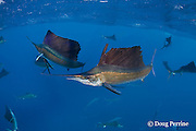 released Atlantic sailfish, Istiophorus albicans, with hook in mouth, torn sail, and scars from fishing line, is swimming normally and feeding in pack, off Yucatan Peninsula, Mexico ( Caribbean Sea )