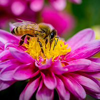 Pollination by insect