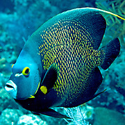 French Angelfish inhabit reefs and sandy areas in Tropical West Atlantic; picture taken Grand Turk.