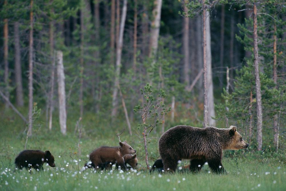Brown Bear, Ursus arctos, Lapland,  Finland