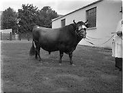19/09/1952<br /> 09/19/1952<br /> 19 September 1952<br /> Show: Pedigree Dairy Cattle Breeders Council of Ireland Autumn Show and Sale at 30 Prussia Street, Dublin. Capt. Wilson's champion.