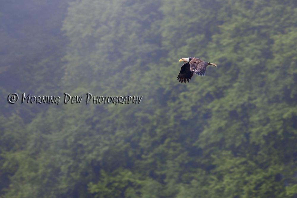 A Bald Eagle soars among the trees.