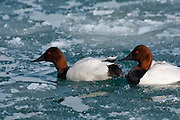 Canvasback, Aythya valisineria, male, St. Clair River, Michigan