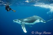photographer Jodi Frediani and humpback whale calf, Megaptera novaeangliae, Vava'u, Kingdom of Tonga, South Pacific