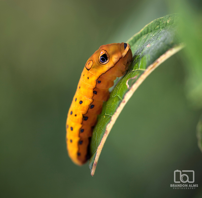 A macro shot of a Spicebush Swallowtail Caterpillar (Papilio troilus) in its last stage before pupation.