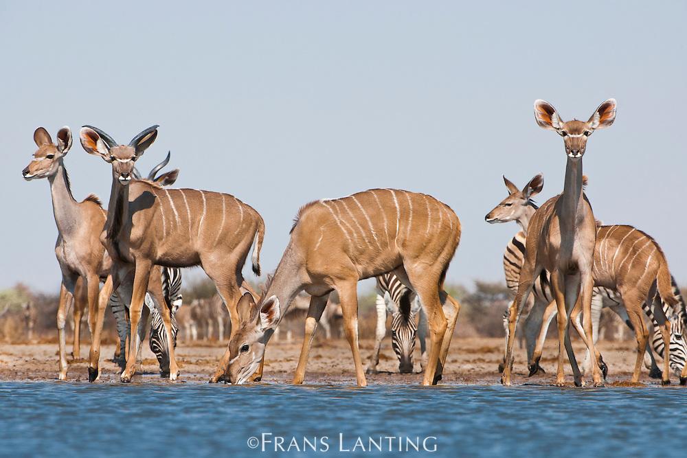 Greater kudus, Tragelaphus strepsiceros, and zebras, Equus quagga, at waterhole, Etosha National Park, Namibia