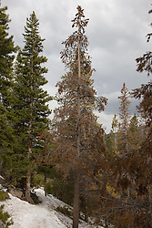 A pine tree is dying from the effects of the mountain pine beetle (dendrotonus ponderosae) in Rocky Mt. Nat'l Park.  Rocky Mountain National Park (RMNP), founded by act of the US Congress in 1915, contains 72 named peaks above 12,000 feet in elevation including the tallest mountain peak in Colorado - Longs Peak at 14,259 feet.  The park, located next to Estes Park, CO, has five visitor centers and is traversed by the Trail Ridge Road (US highways 34 and 36).  Over 3 million visitors travel to the park annually to experience diverse mountain terrain, wildlife and recreation.