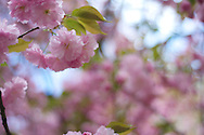 Flowers in Riverside Park, April 11, 2010