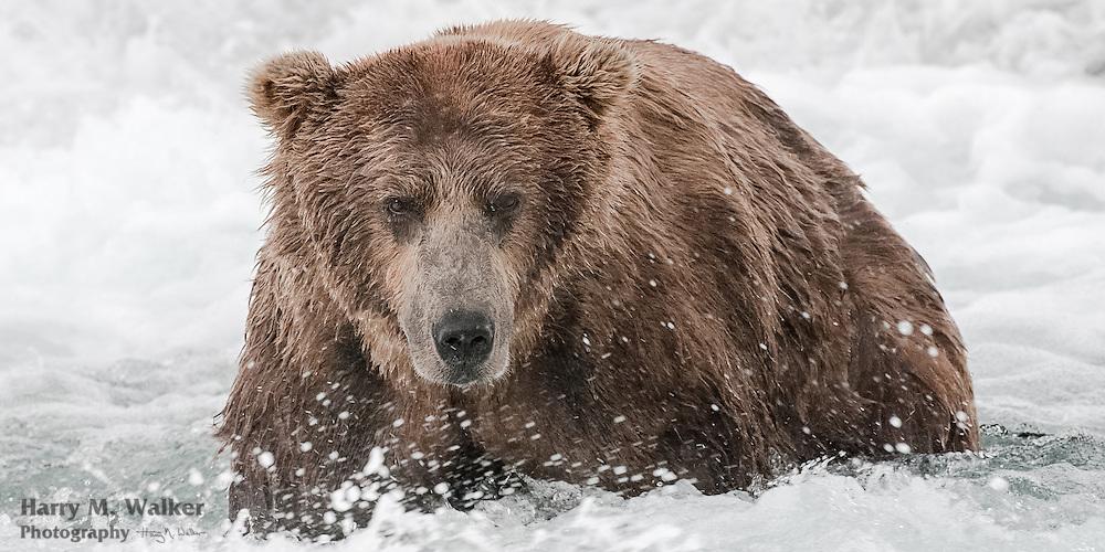 Male brown bear (Ursus arctos) fishing for chum salmon; McNeil River Falls; McNeil River State Game Sanctuary; Alaska
