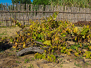 Ancient ramisco vines growing in sand