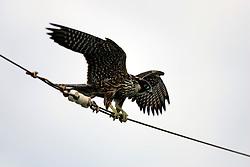NORTHERN PACIFIC ESPERANZA 8NOV07 - a female Juvenile Peregrine falcon balances on an antenna wire aboard the MY Esperanza in the northern Pacific...jre/Photo by Jiri Rezac..© Jiri Rezac 2007..Contact: +44 (0) 7050 110 417.Mobile:  +44 (0) 7801 337 683.Office:  +44 (0) 20 8968 9635..Email:   jiri@jirirezac.com.Web:    www.jirirezac.com..© All images Jiri Rezac 2007 - All rights reserved.