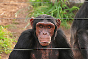 Chimpanzee (Pan troglodytes) in captivity enclosed with a fence