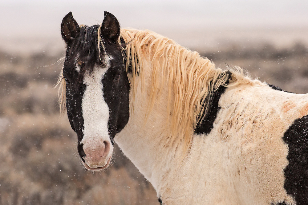 The wild stallion, Tecumseh, locks eyes with this photographer as a light snow begins to fall.  Although no longer a band stallion, you can see the there is still fire in the eyes of this fierce warrior.
