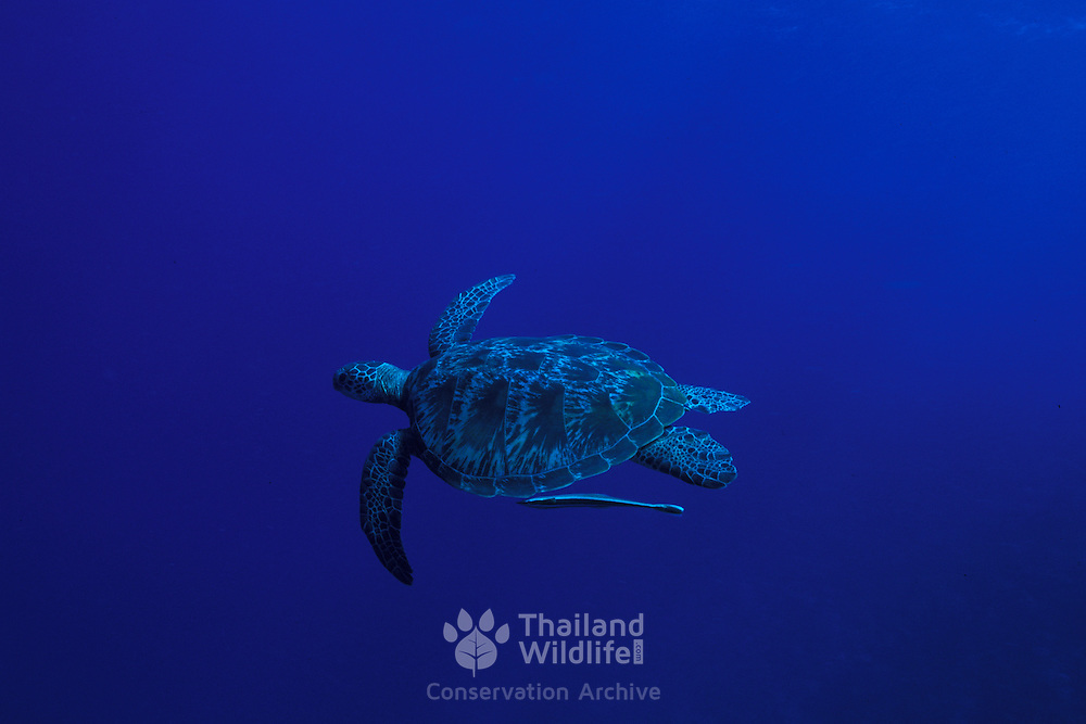 Hawksbill Turtle,  Eretmochelys imbricata, with a remora attached. Freeswimming at Apo Island in the southern Philippines.