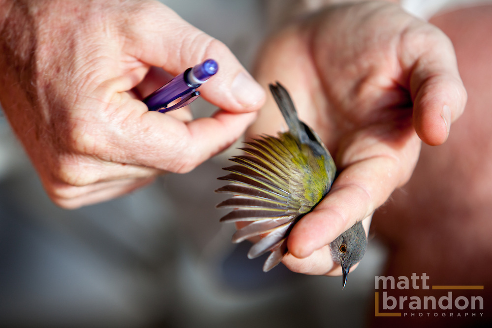 Colin Jackson of A Rocha inspects this Camaroptera's feathers for wear and age.